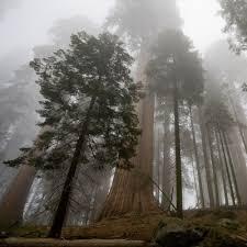 giantForest